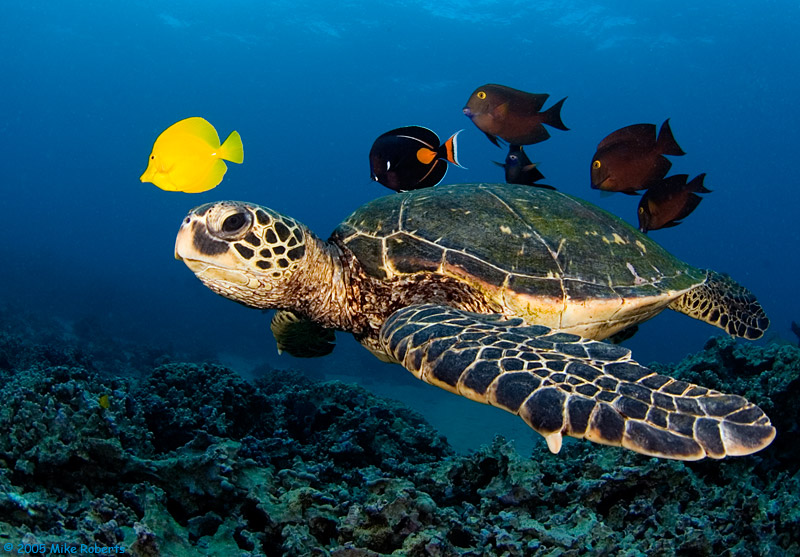 schiusa di uova di tartaruga caretta caretta a pescoluse