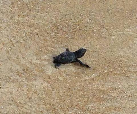 Schiusa di uova di tartaruga caretta caretta a pescoluse for Tartarughe appena nate